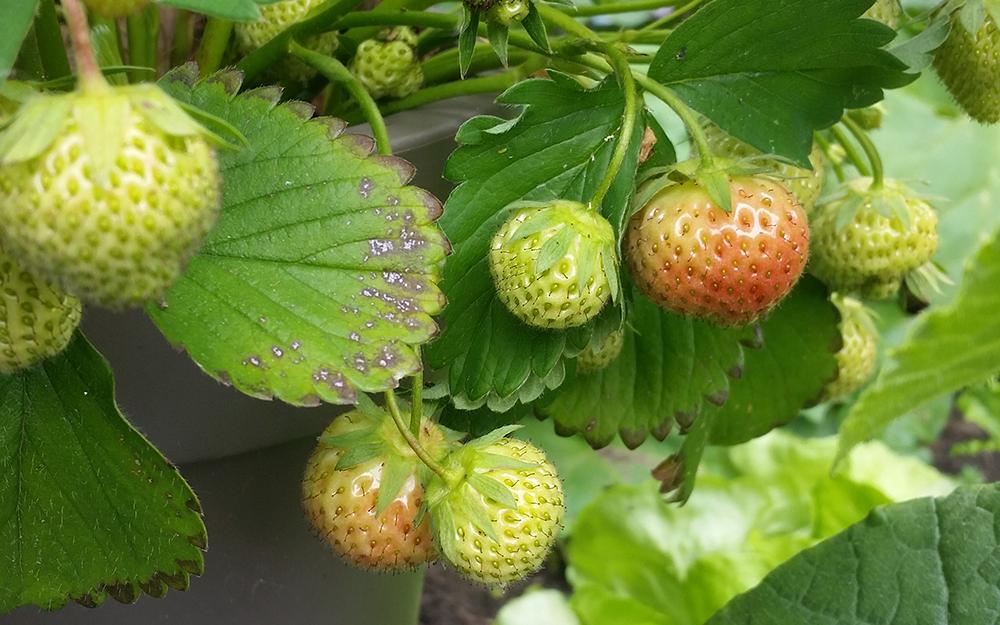 Aardbeien uit eigen tuin