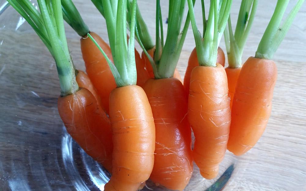 Oogsten van de worteltjes